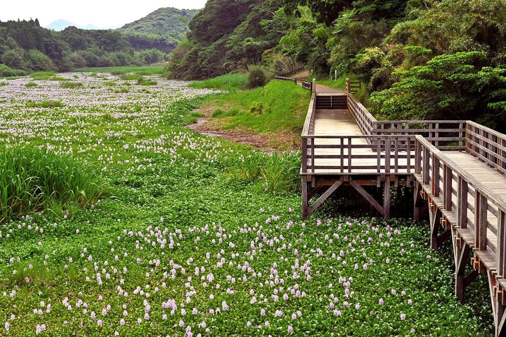 鹿児島県日置市 正円池のホテイアオイ 吹上温泉の北西5㎞