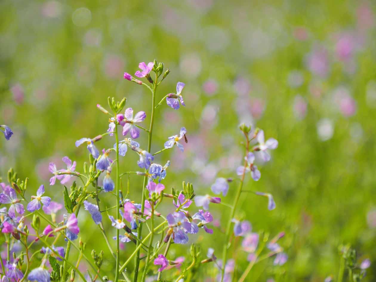 福島県金山町 太郎布高原 アザキ大根の花