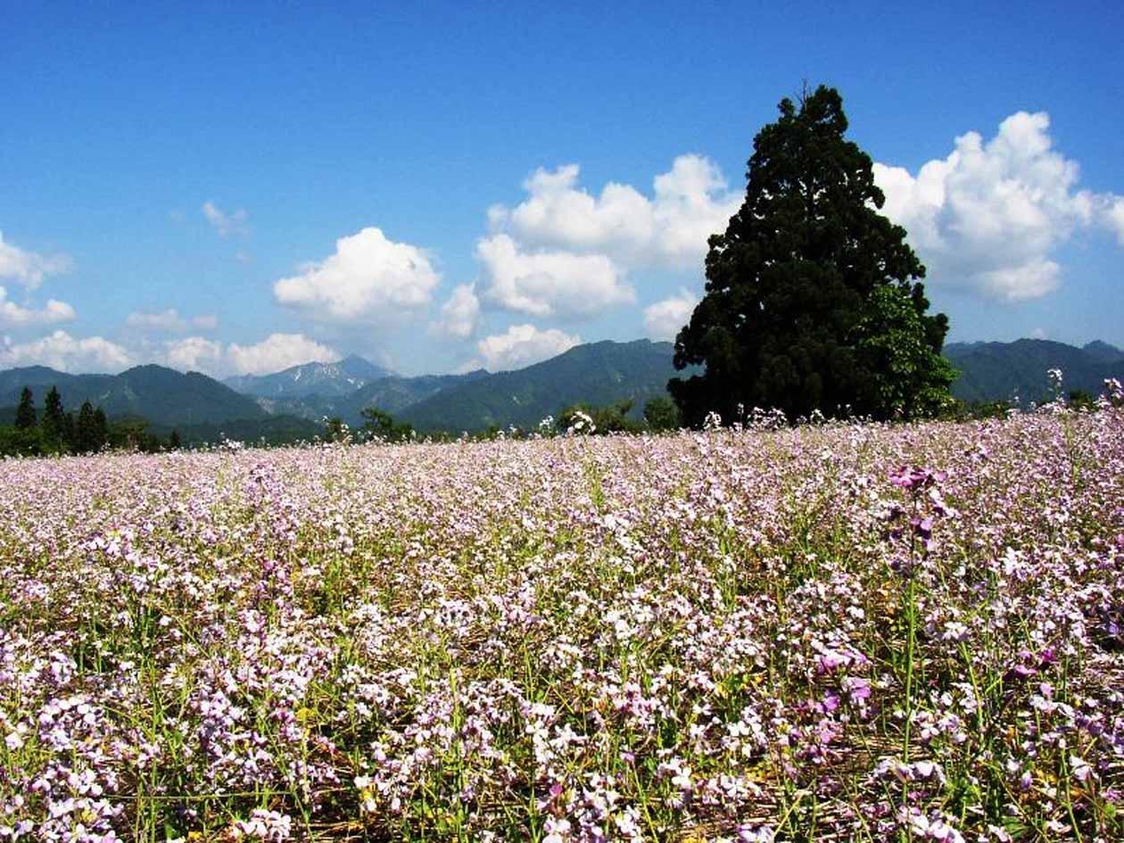 福島県金山町 太郎布高原 アザキ大根の花畑