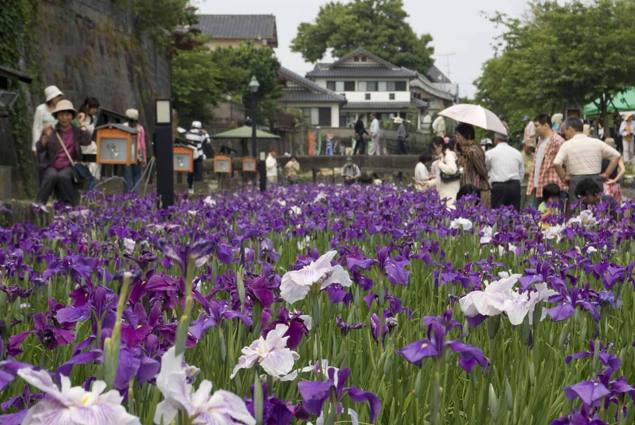 熊本県 玉名市 高瀬裏川花しょうぶまつり