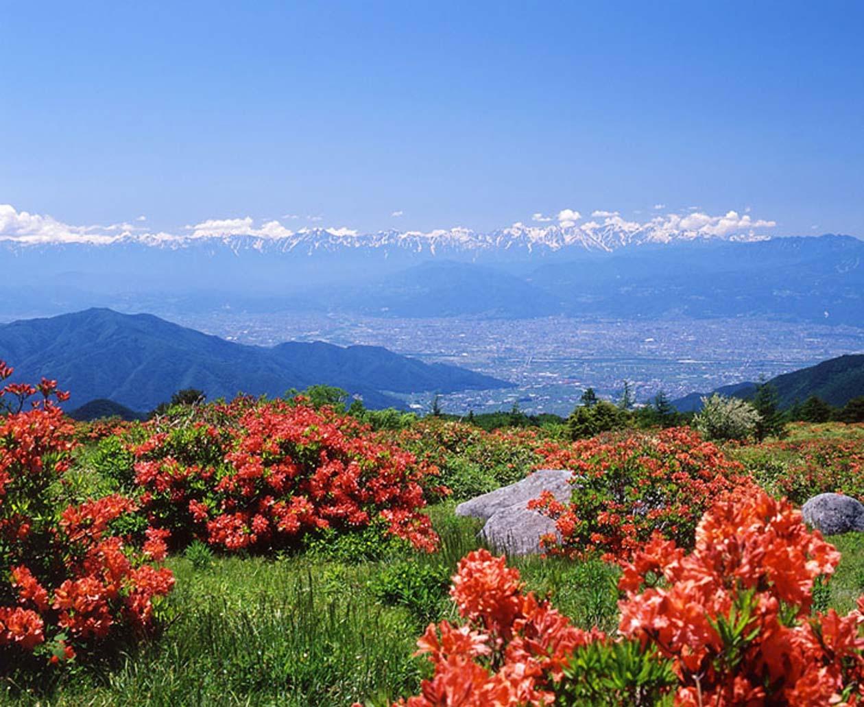 長野県須坂市 五味池破風高原自然園のレンゲツツジ