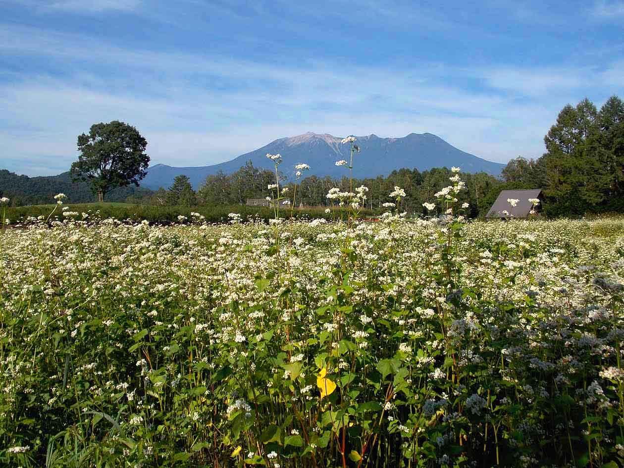 長野県木曽町 開田高原木曽馬の里 そばの花の絶景